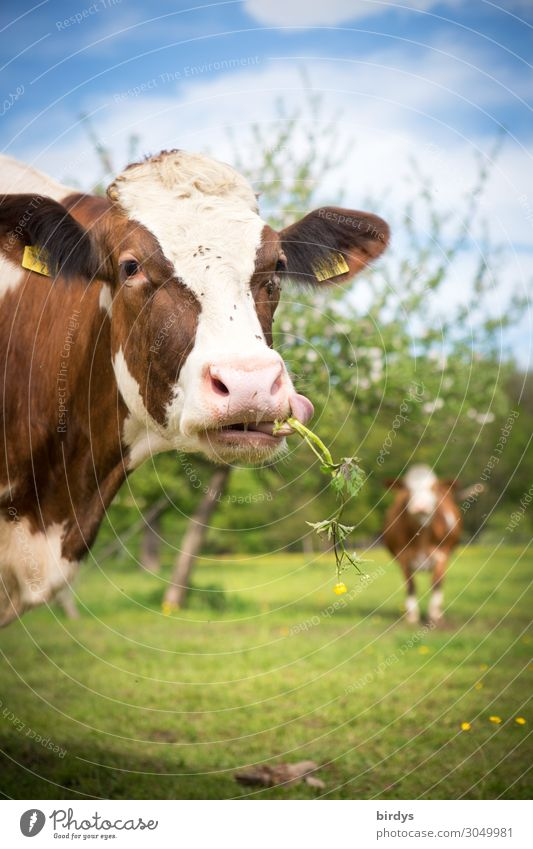 Happy cows Agriculture Forestry Sky Summer Beautiful weather Tree Flower Meadow Pasture Farm animal Cow 2 Animal Observe To feed Authentic Exceptional