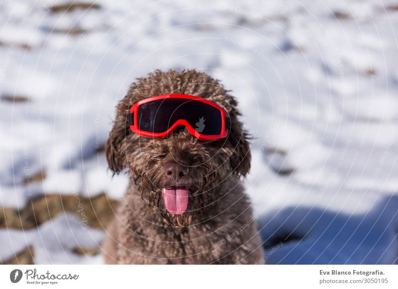funny spanish water dog wearing ski goggles in the snow Vacation & Travel Nature Dog Christmas & Advent Beautiful White Landscape Red Sun Relaxation Animal Joy