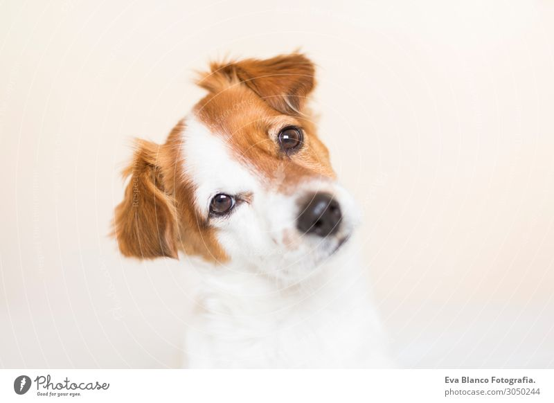 closeup portrait of a cute small dog sitting on bed House (Residential Structure) Bedroom Friendship Infancy Pet Dog Love Cuddly Small Funny Cute Brown Red