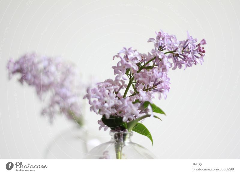 it smells like... | Lilac. lilac lilac blossom Plant Nature Colour photo Close-up Blossom Violet Deserted Blossoming Garden Detail purple Green Vase glass vase