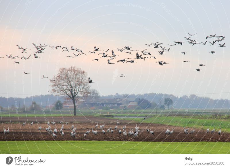 Landscape with many cranes in the field and in the air Environment Nature Plant Animal Sky Autumn Tree Grass Wild plant Field Bird Crane Flock Flying To feed