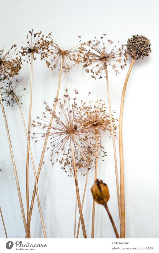 Dried umbels Flower Blossom Dried flower Shriveled Mature Grass Deserted Nature Plant Copy Space Depth of field Twig Apiaceae Star (Symbol) Asparagus