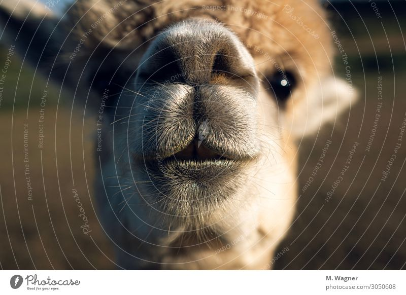 Always be curious Animal Farm animal Animal face 1 Curiosity Cute Gold Happy Happiness Contentment Cool (slang) Love of animals Alpaca Colour photo