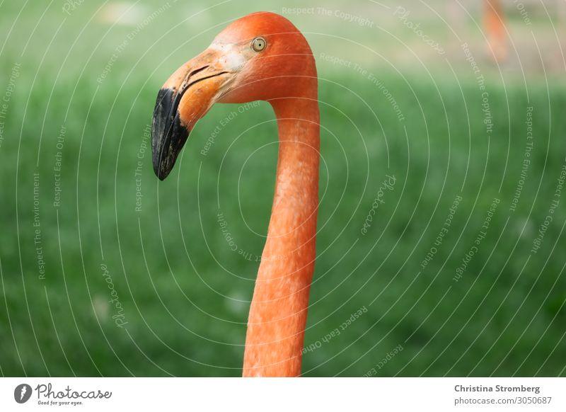 flamingo Flamingo Animal Pink Bird Colour photo Wild animal Nature Zoo Beak Exotic Neck Animal portrait Animal face Looking Beautiful Observe Orange