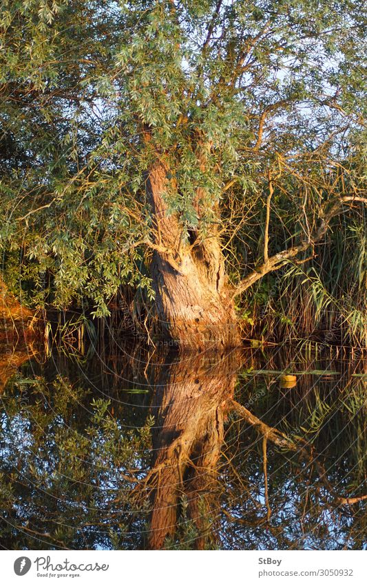 Reflections at the Peenestrom - Willow Environment Nature Landscape Plant Water Summer Tree River bank Blue Brown Green Colour photo Exterior shot Day