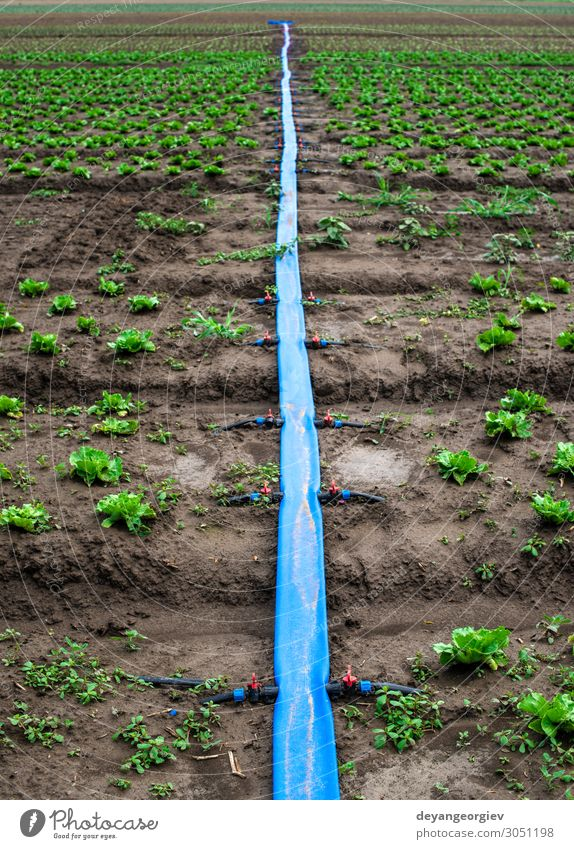 Planted agriculture land and pipe for watering. Garden Environment Earth Plastic Green irrigate pumping Pipe Large-scale holdings Rural Farm Irrigation