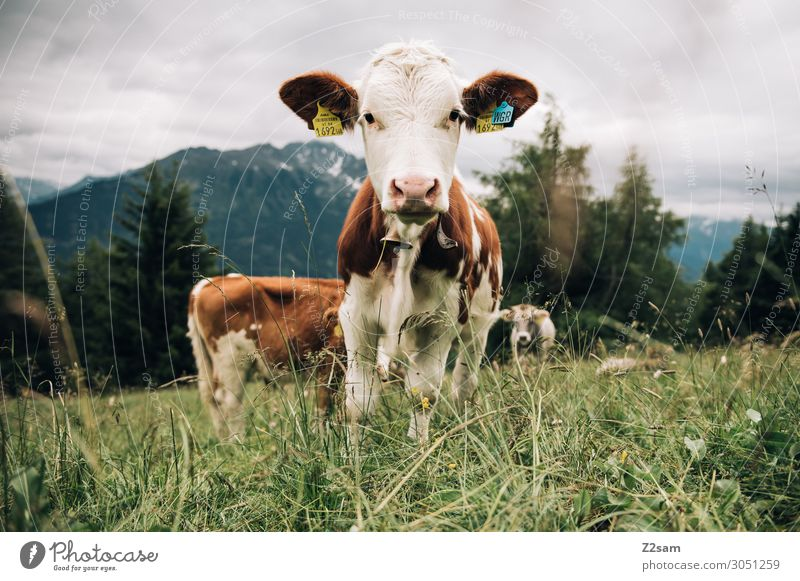 Cow in the Austrian Pitztal valley Nature Landscape Meadow Forest Alps Mountain 3 Animal Herd To feed Looking Stand Friendliness Happy Natural Curiosity Brown
