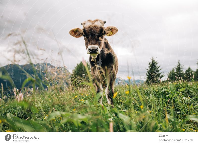 Young calf on the mountain pasture Nature Landscape Summer Flower Meadow Alps Mountain Peak Farm animal Cow Observe Stand Healthy Curiosity Green Interest