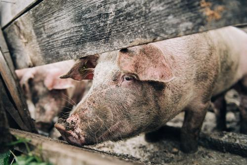 alpine pig Nature Alps Farm animal Swine Feeding Looking Stand Healthy Happy Sustainability Natural Contentment Calm Barn Fence Enclosure To feed Wooden fence