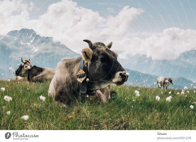 Cows on the mountain pasture at the summit Nature Landscape Clouds Summer Beautiful weather Flower Meadow Alps Mountain Peak Farm animal Relaxation Lie