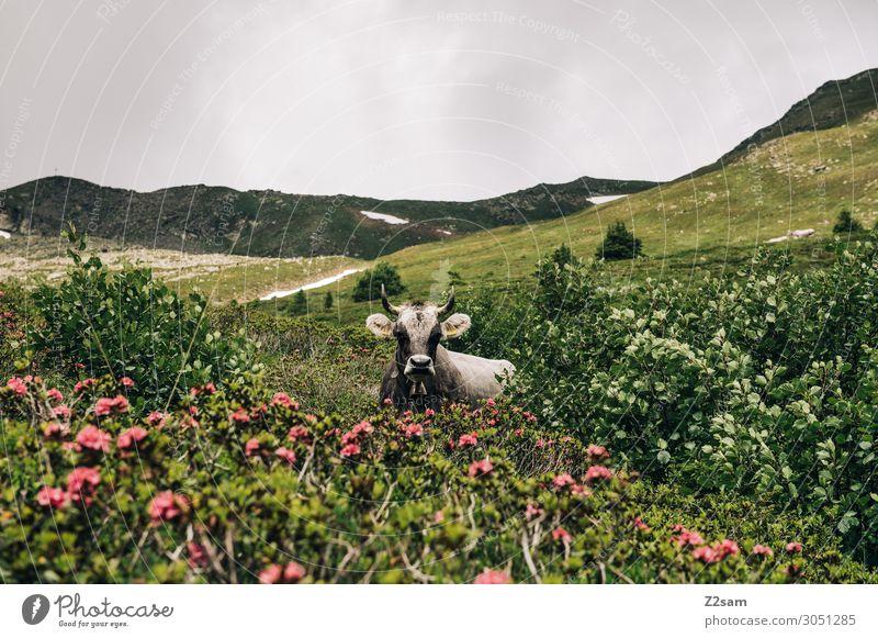 Cow in the Austrian Alps Nature Landscape Summer Bad weather Flower Bushes Mountain Peak Farm animal Observe Relaxation Lie Threat Dark Green Serene Calm