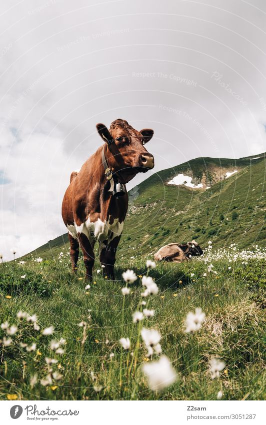 Cow in the Austrian Pitztal valley Nature Landscape Clouds Summer Flower Meadow Alps Mountain Peak Farm animal Stand Gigantic Natural Brown Power Serene Calm