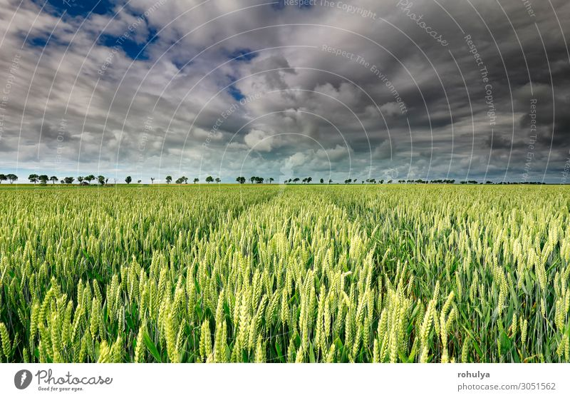 wheat field and beautiful sky on sunny day Bread Summer Environment Nature Landscape Earth Sky Clouds Storm clouds Horizon Gale Tree Meadow Field Natural Blue