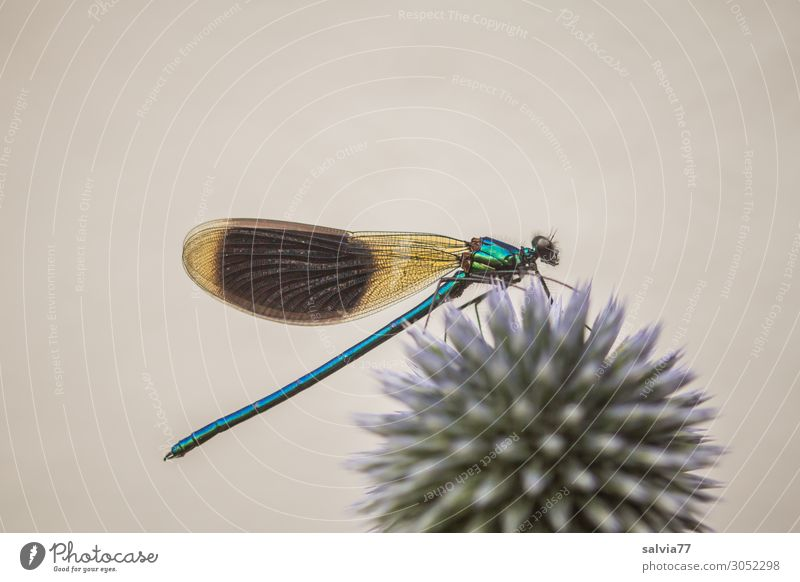 blue-green iridescent Environment Nature Summer Plant Flower Blossom globe thistle Thistle Garden Animal Wild animal Wing Dragonfly Demoiselles Insect 1 Point