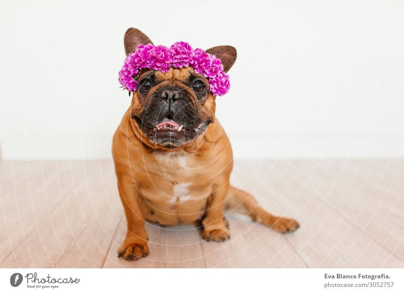 cute brown french bulldog at home with a wreath of flowers Vacation & Travel Dog Summer Colour Beautiful White Flower House (Residential Structure) Relaxation