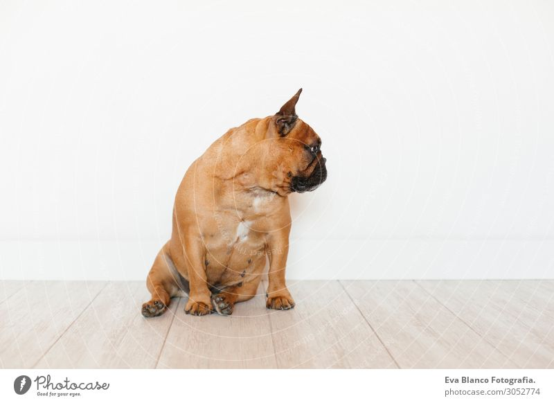 portrait of cute brown french bulldog.Pets indoors and lifestyle Lifestyle Style Happy Beautiful Relaxation Leisure and hobbies House (Residential Structure)