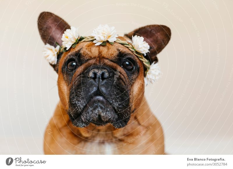 cute brown french bulldog at home with a wreath of flowers Dog Summer Beautiful White Flower House (Residential Structure) Relaxation Animal Joy Lifestyle