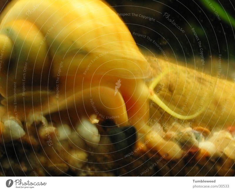 bootlicker Underwater photo Aquarium Gravel Transport Snail apple snail Water