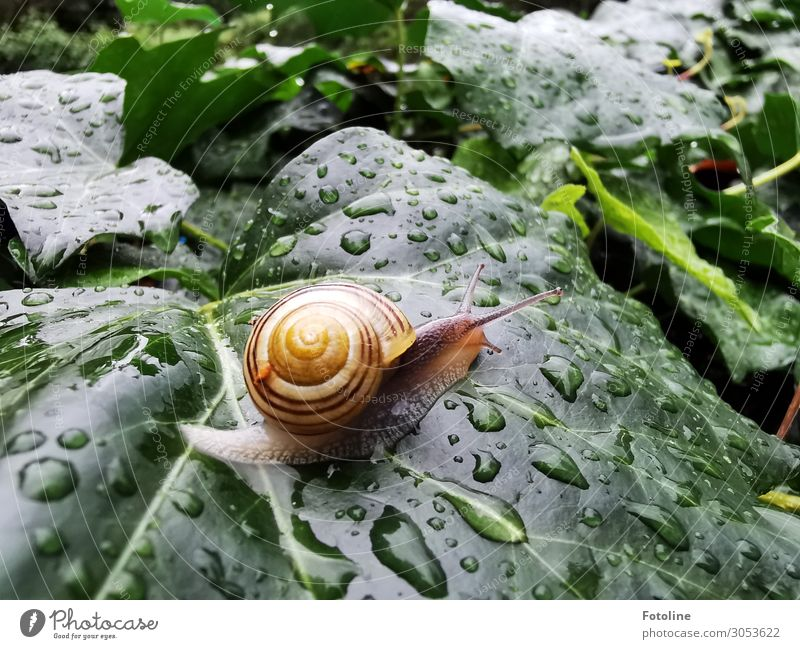 at snail's pace Environment Nature Plant Animal Elements Water Drops of water Summer Rain Ivy Leaf Garden Snail 1 Free Small Wet Natural Brown Green Orange