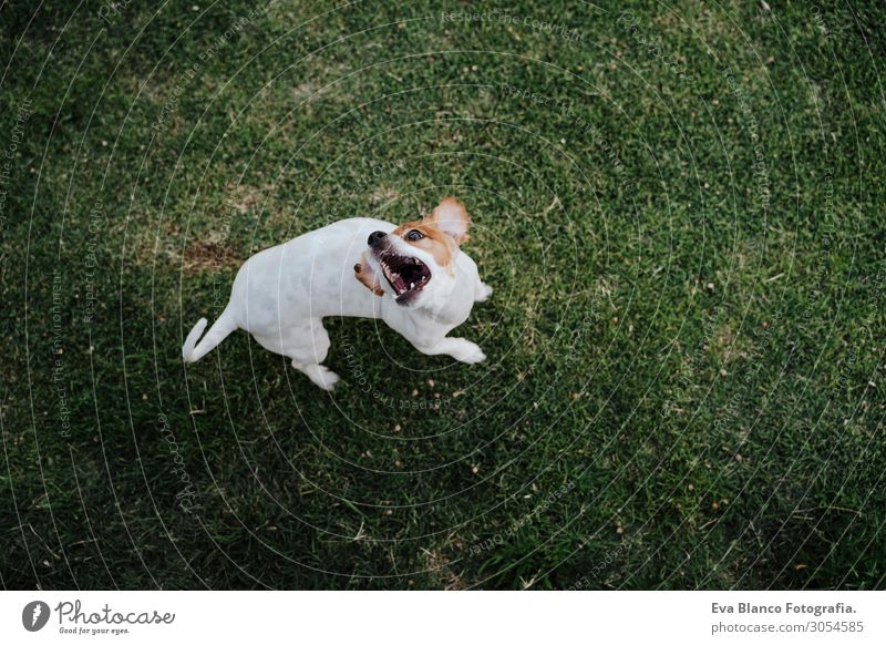 cute jack russell dog eating treats on the grass in a park Eating Lifestyle Relaxation Summer Nature Animal Grass Park Pet Dog Observe Smiling Sit Jump Wait