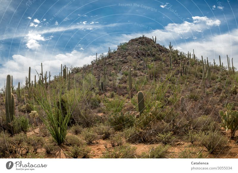 hill Nature Landscape Plant Sand Sky Clouds Beautiful weather Bushes Cactus Saguaro cactus ocotillo Hill Rock Desert To dry up Growth Old Authentic Threat Hot