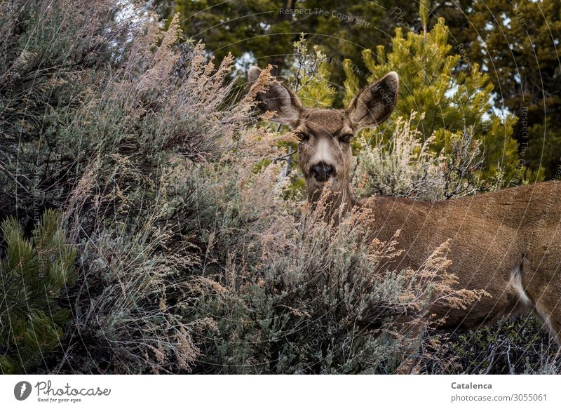 CAMOUFLAGE Nature Plant Animal Bushes Wild animal Roe deer white-tailed deer 1 Observe Free Beautiful Brown Yellow Gray Green Attentive Watchfulness Curiosity