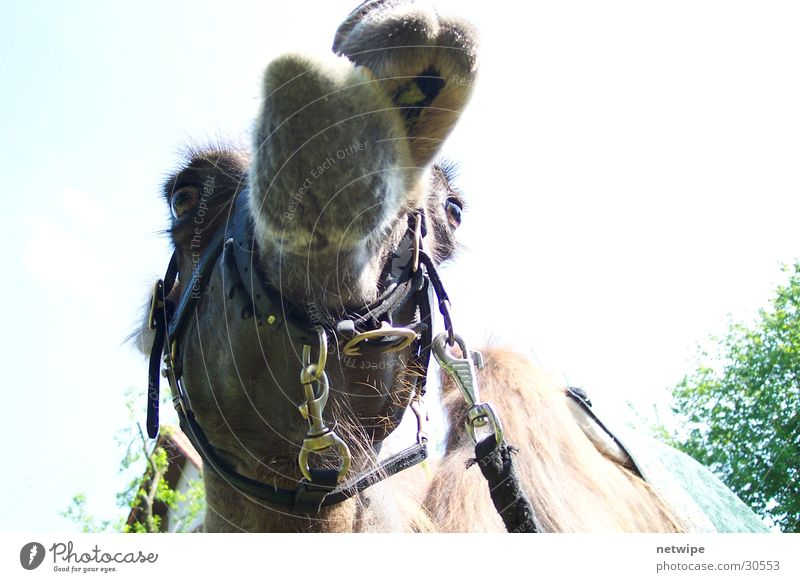 Animal Desert Camel Dromedary Camel hump