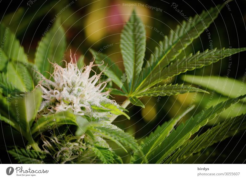 Plant Blossom Grass Blossoming Medication Smoking Laws and Regulations Politics and state Intoxicant Alternative medicine Intoxication Agricultural crop