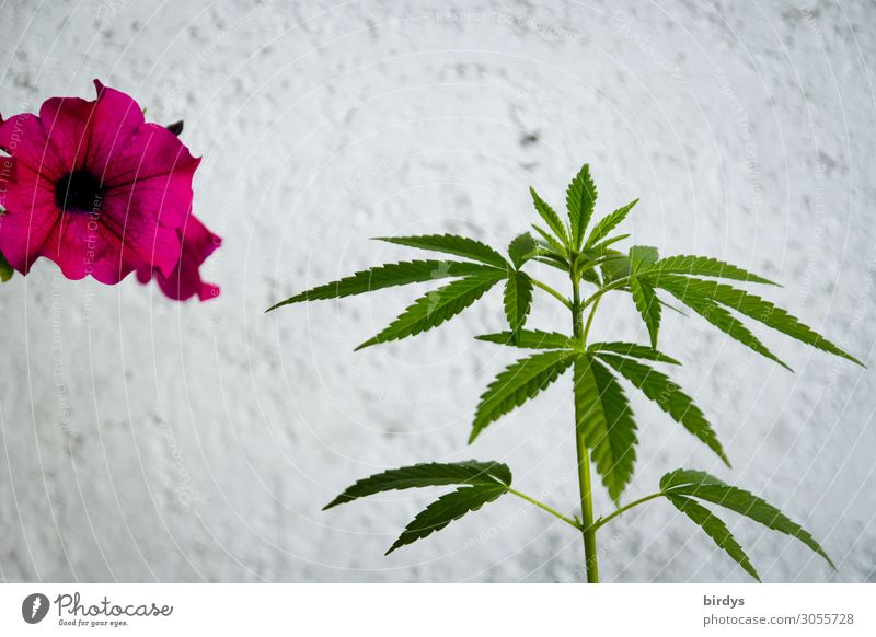 Floral togetherness Intoxicant Summer Flower Hemp Blossom Pot plant Cannabis Wall (barrier) Wall (building) Blossoming Fragrance Growth Esthetic Authentic Fresh