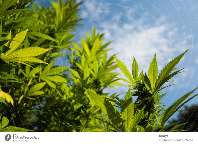 Outdoor cannabis plant Alternative medicine Smoking Intoxicant Medication Plant Sky Beautiful weather Blossom Agricultural crop Cannabis Cannabis leaf Growth