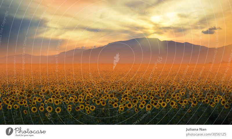 Sunflowers Field at Sunset.Orange Nature Background. Sky Vacation & Travel Summer Plant Colour Beautiful Landscape Flower Clouds Joy Mountain Lifestyle