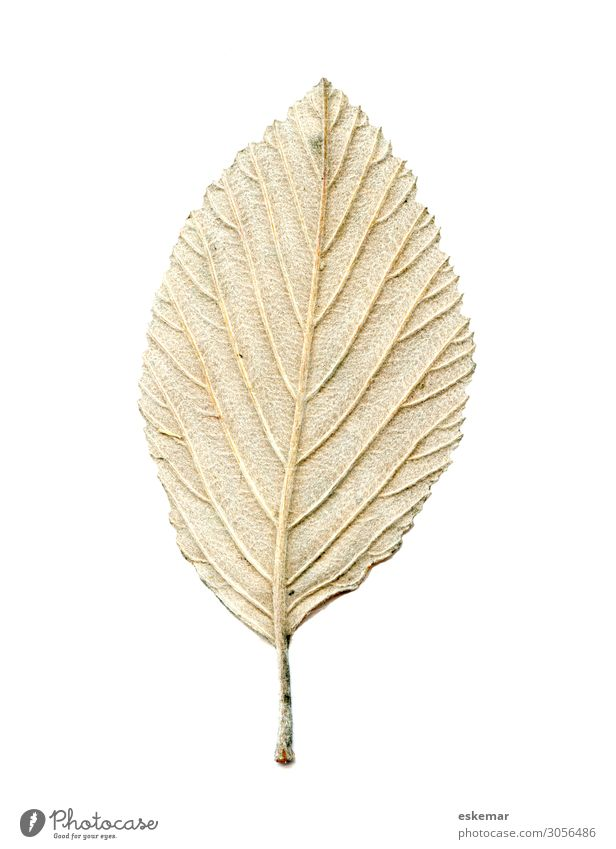 leaf Nature Plant Tree Leaf Esthetic Authentic Brown Green White Rear side Background picture hair Tiny hair Botany Verdant Copy Space Autumn Autumn leaves