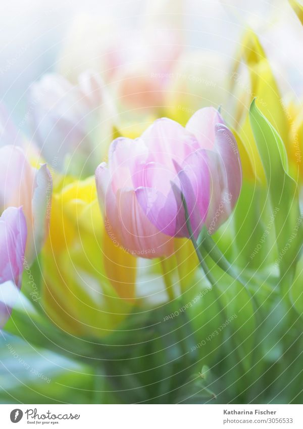 Tulips pink yellow Plant Spring Summer Autumn Winter Flower Leaf Blossom Bouquet Blossoming Illuminate Yellow Green Pink Turquoise White Double exposure