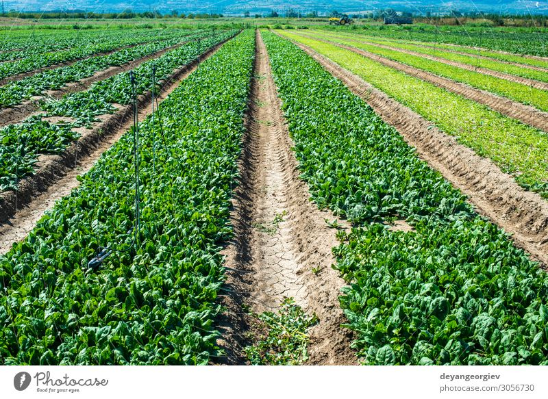 Spinach farm. Organic spinach leaves on the field. Vegetable Vegetarian diet Diet Garden Environment Plant Leaf Growth Fresh Natural Green sown rows agriculture