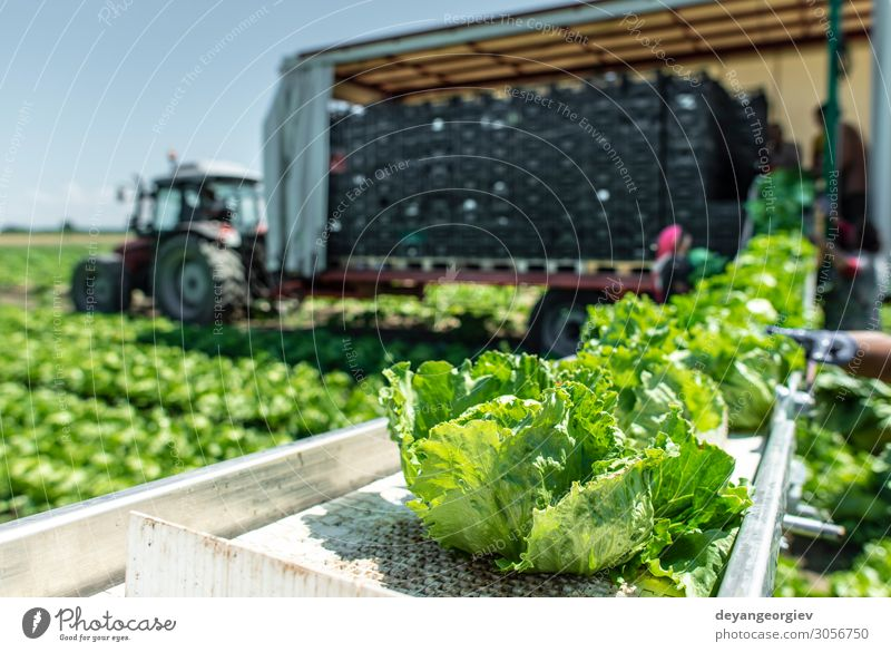 Tractor with production line for harvest lettuce automatically. Vegetable Nutrition Vegetarian diet Diet Garden Machinery Environment Nature Plant Leaf Pack