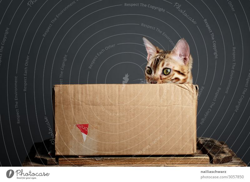 Cat in box Lifestyle Style Design Joy Relaxation Living or residing Pet Animal face bengal cat 1 Baby animal Box Cardboard Carton Packaging Cuddly Curiosity