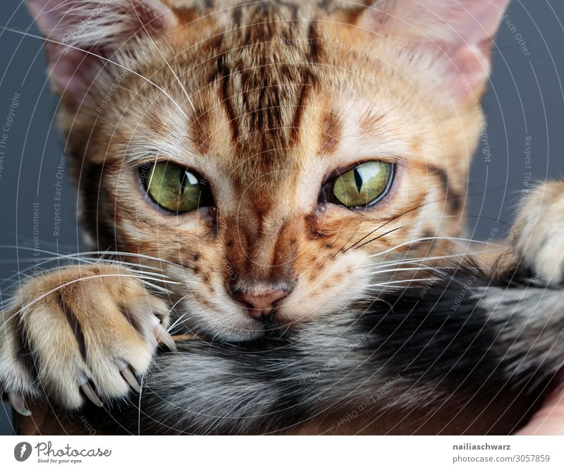 bengal cat Joy Calm Animal Pet Cat 1 Baby animal Observe To hold on Looking Brash Happiness Delicious Funny Natural Curiosity Cute Beautiful Brown Green