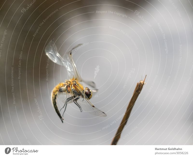 A large yellow dragonfly photographed in flight. Summer Nature Animal Big dragonfly 1 Branch Legs Flying insect Grand piano Body of water Insect Seasons landing