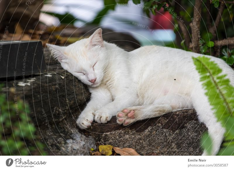 Sleeping Temple Cat Animal Pet 1 Dream Warm-heartedness Love of animals Colour photo Exterior shot Day Animal portrait Closed eyes
