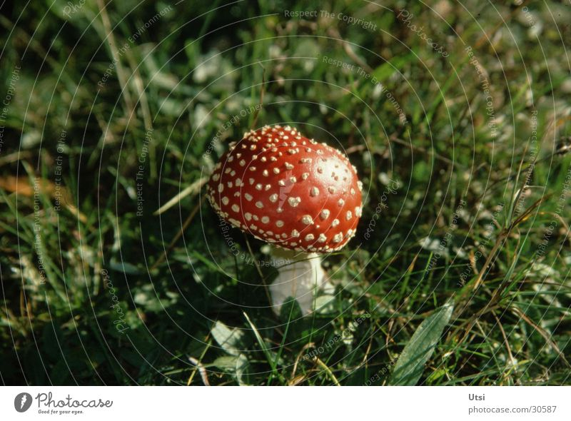 lucky devil Amanita mushroom Summer Bavaria Zoom effect Mountain Plant Close-up