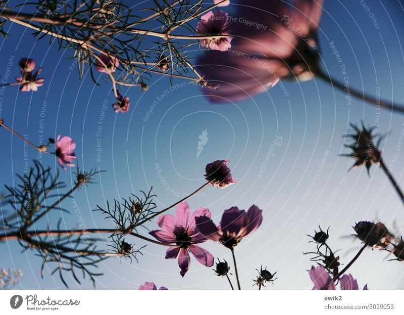 Nature Plant Environment Blossom Meadow Movement Garden Beautiful weather Blossoming Touch Many Cloudless sky Stalk Cosmos