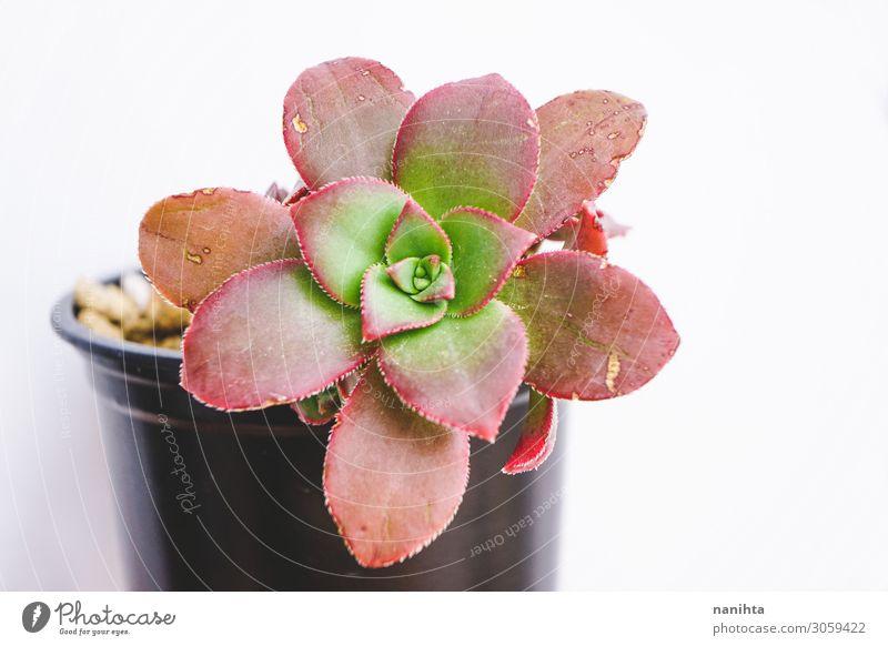 Beautiful close up of an aeonium kiwi Pot Garden Gardening Art Plant Flower Leaf Colour Aeonium Succulent plants succulen plant fat plant echeveria sedeveria