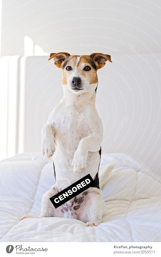 Cute jack russell dog in bedroom with censored label Lifestyle Bedroom Screen Pet Dog Small Funny Naked Safety Protection Safety (feeling of) Loyal Mysterious
