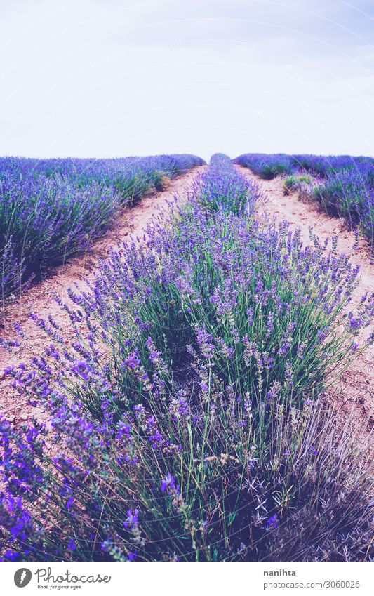 Beautiful lavender fields in bloom Sky Nature Summer Colour Landscape Flower Wild Horizon Fresh Growth Blossoming Herbs and spices Farm Medication Fragrance