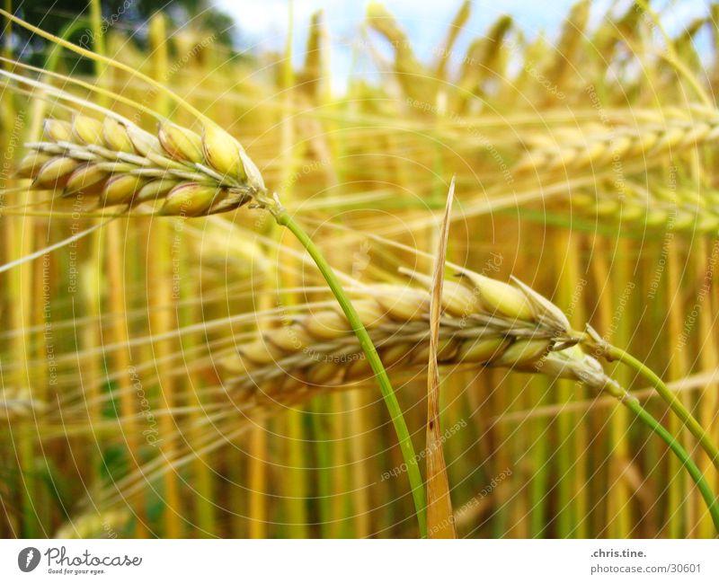 Summer Yellow Field Grain Ear of corn Barley