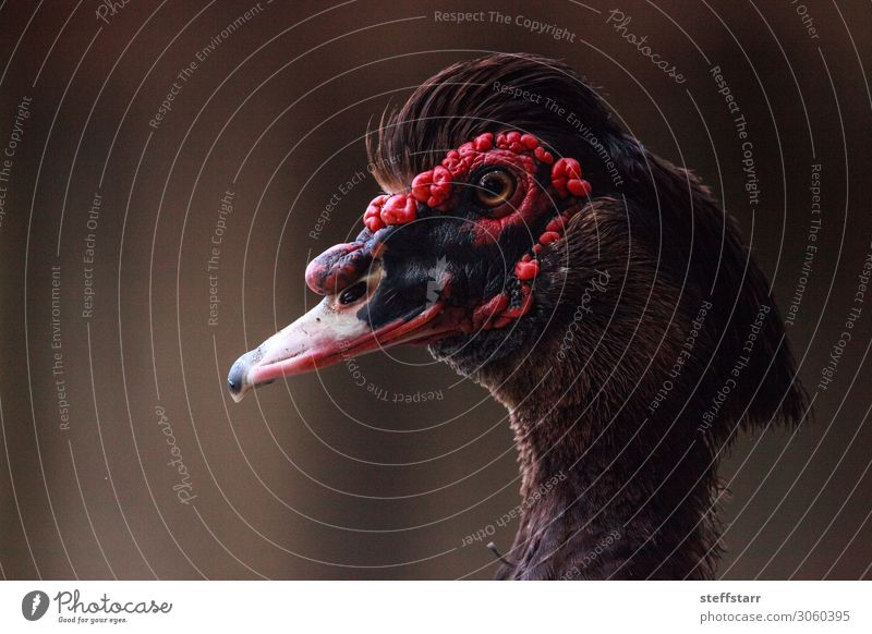 Head of a male Muscovy duck Cairina moschata with red caruncles Summer Nature Animal Farm animal Bird 1 Brown Red Black ducky Duck birds wildlife Wild bird