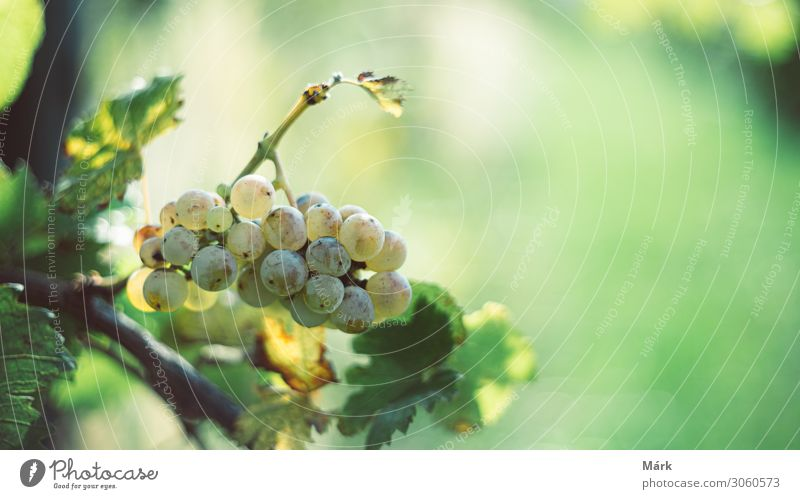 Green vine grapes in the vineyard in the harvesting season. Nature Colour Leaf Winter Natural Fruit Culture Seasons Harvest Mature Alcoholic drinks Crate