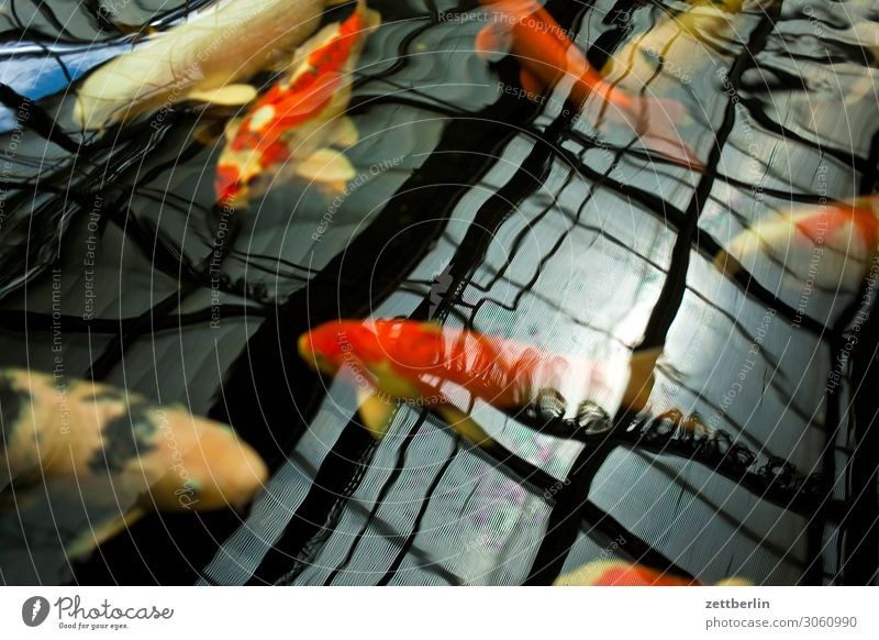 brocade carp Aquarium Asia Basin Exotic Fish Carp Koi Water Surface of water Japan Japanese Livestock breeding Breed Swimming & Bathing