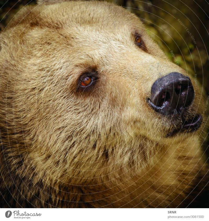 Portrait Of The Bear Animal Wild animal Brown bear Carnivore fauna predator ursus Grizzly wildlife Portrait photograph Looking
