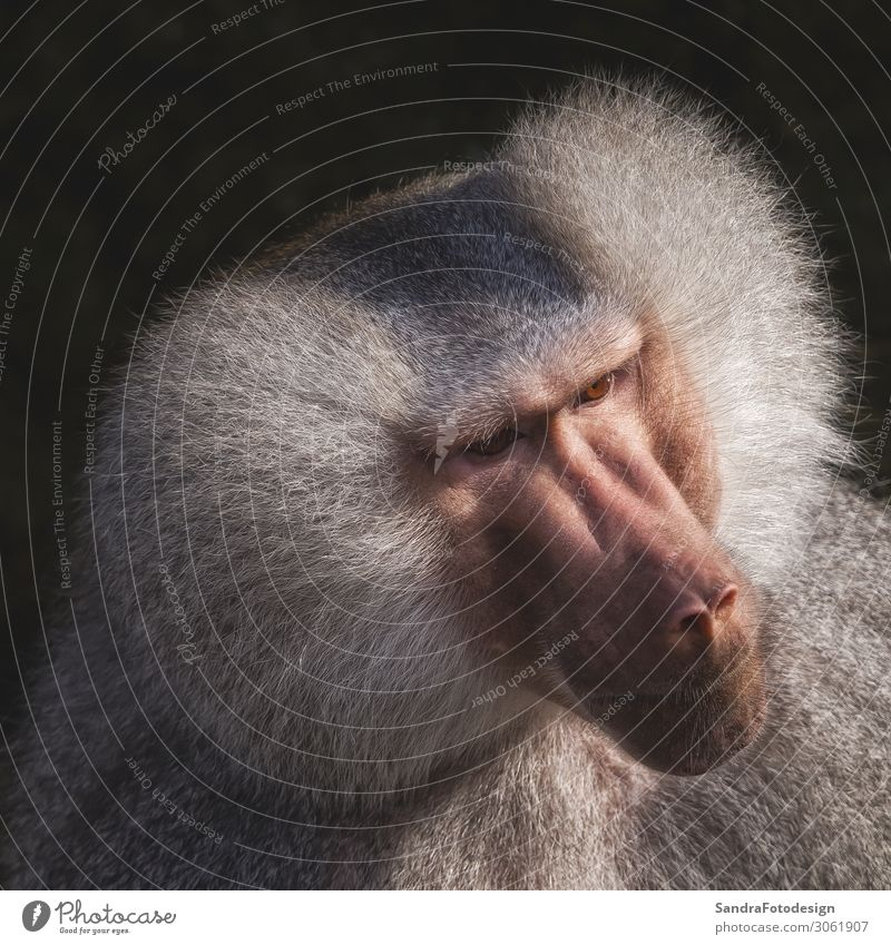 Head shot of a monkey with grey hairs Animal Wild animal Zoo 1 Emotions adult ape baboon creature cute face For hairy head looking mammal one portrait pose